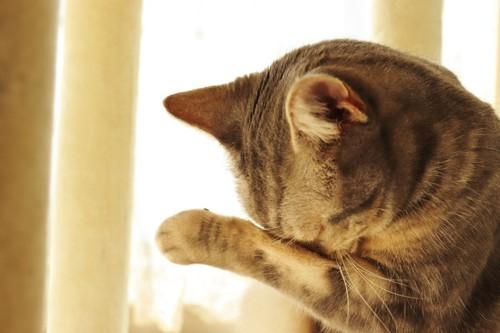 前足で目をかく猫