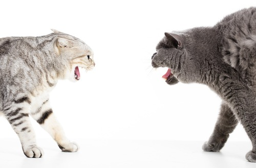 威嚇し合う猫