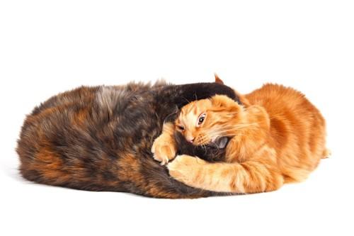 噛み付き合っている二匹の猫