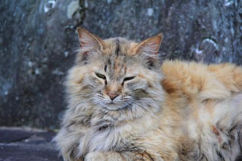眠そうな表情の長毛猫