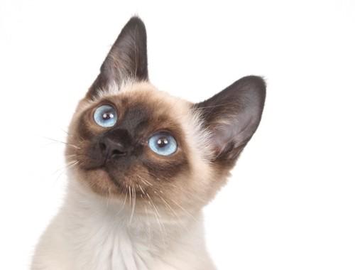 見上げるシャム猫