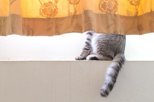 カーテンの裏にいる猫
