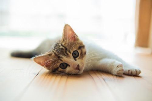こちらを見る仔猫