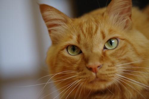 こちらを見る茶トラの猫