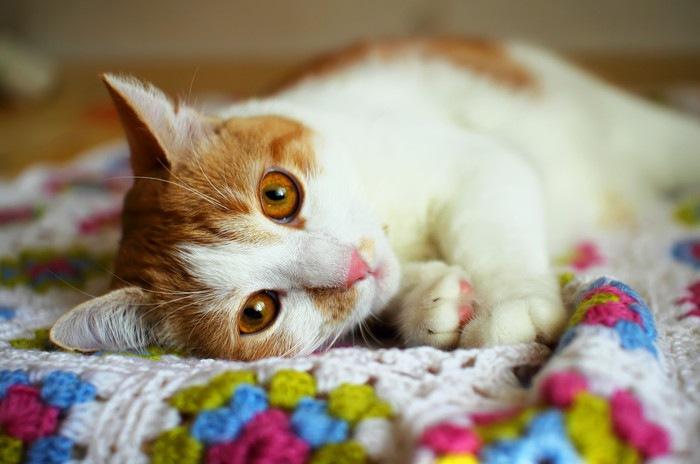 横たわる茶白猫の写真
