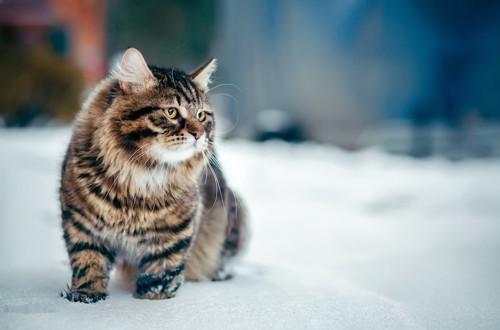 雪の中を歩くサイベリアン