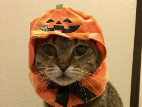 かぼちゃをかぶる猫