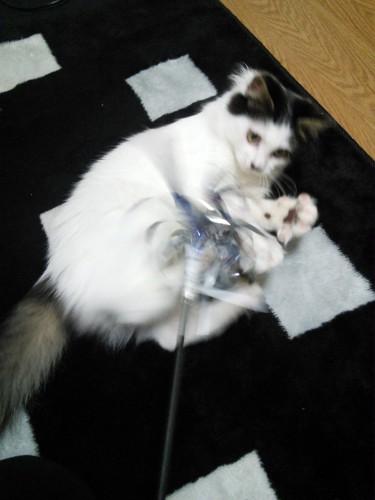 オモチャで遊ぶ猫