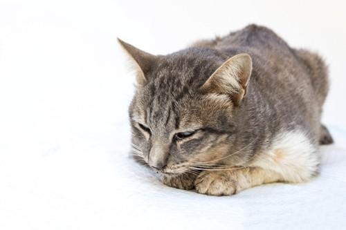 うずくまっている猫