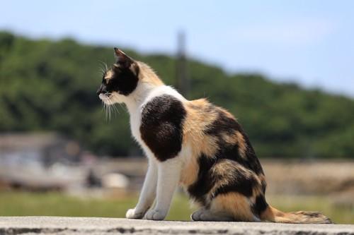座って遠くを見る三毛猫