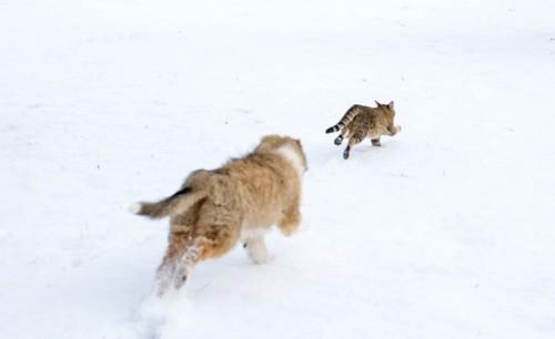 雪の中を追いかけっこする猫2匹