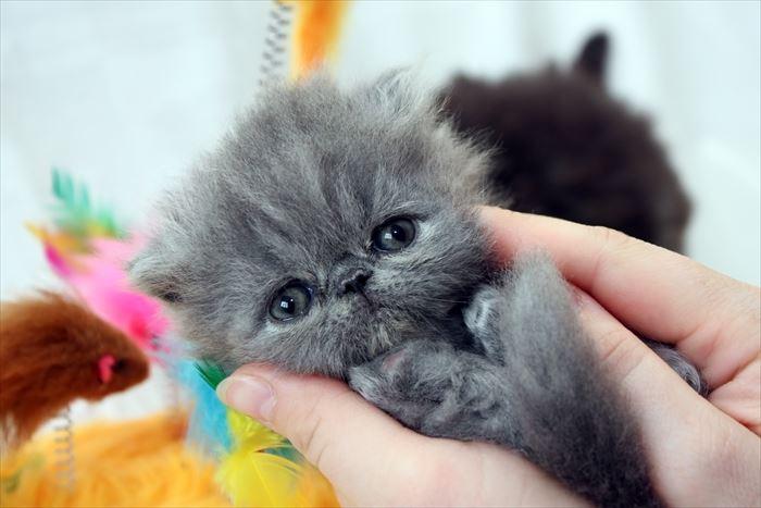 エキゾチックショートヘア子猫と手