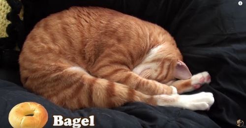 ベーグルのように丸くなる猫