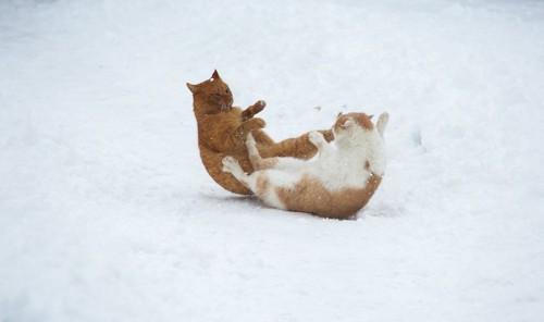 雪の中で喧嘩をする二匹の猫