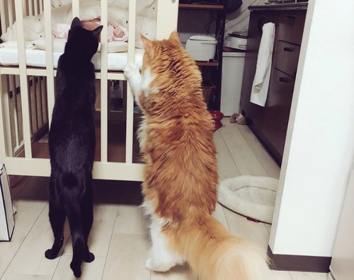 立ちあがってベビーベッドを覗き込む猫たち