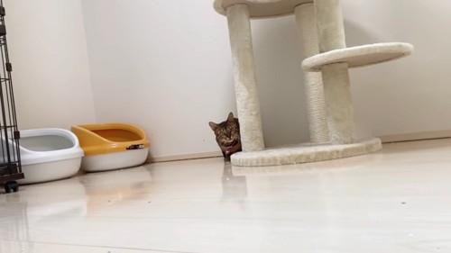 キャットタワーの下にいる猫