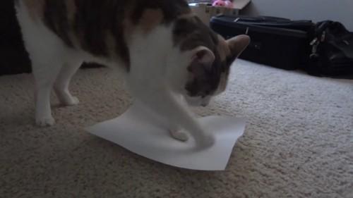 紙をほりほりする猫