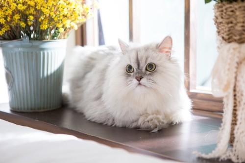 窓辺で日向ぼっこするペルシャ猫