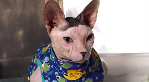 青い上着を着た猫