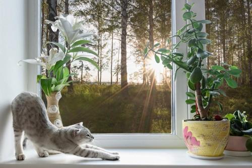 明け方の窓際で伸びをする猫