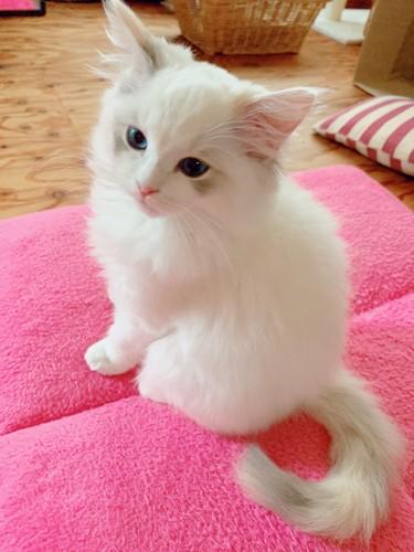 真っ白なもふもふな子猫
