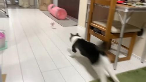 ボールを追いかける猫