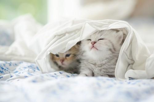 布団に入る二匹の猫