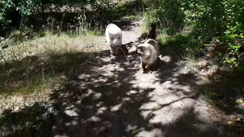 歩く猫と豚