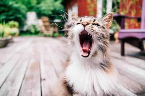 大きく口をあける猫
