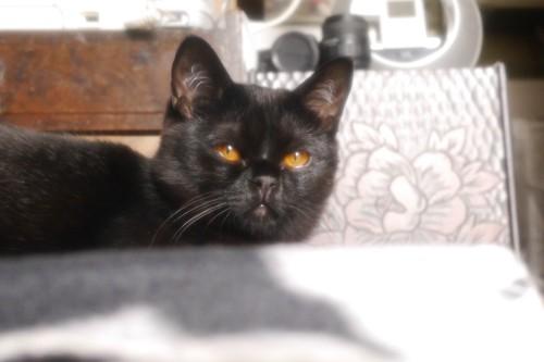 家に来たばかりの黒猫