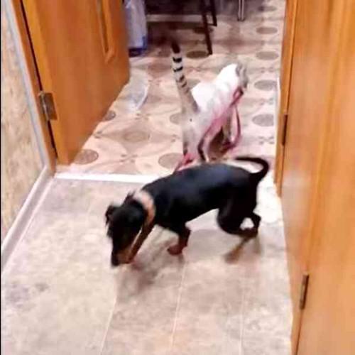 廊下の奥へ犬をいざなう猫