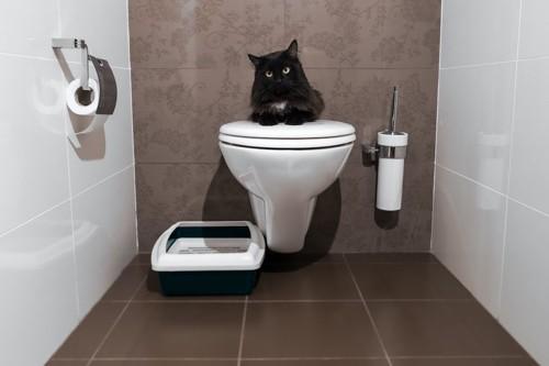 人間用トイレに居座っている猫