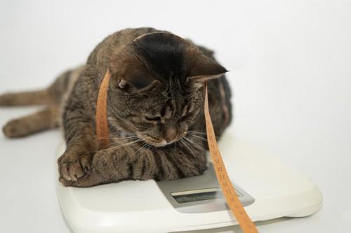 体重計に乗るキジトラ猫