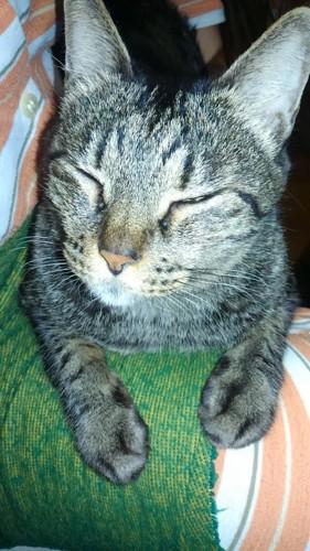 膝の上の愛猫