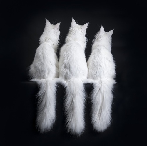 向こうを向いた白猫3匹