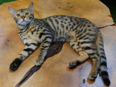 ヒョウ猫の森スタッフのベンガル猫アサヒ
