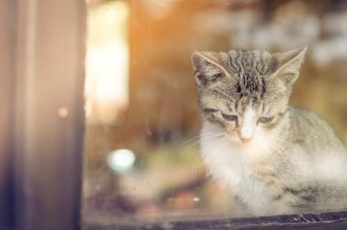 寂しそうな表情で外を見る子猫