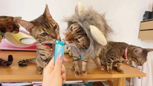 一緒におやつを食べる2匹の猫