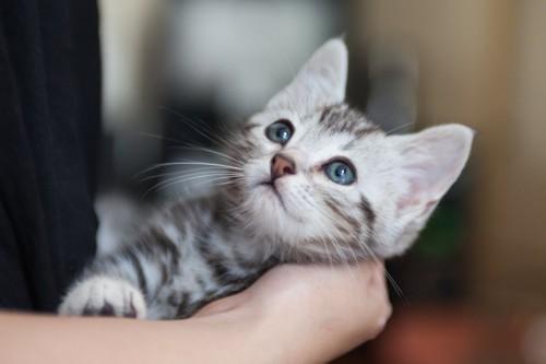 飼い主の手にもたれるアメショーの子猫