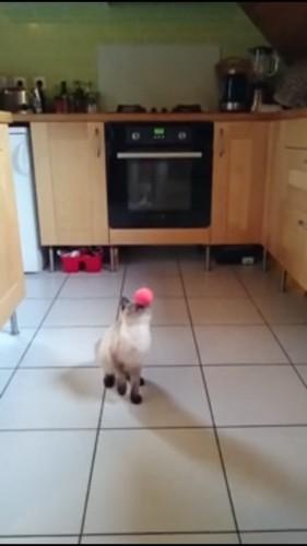 顔面キャッチする猫