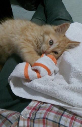 タオルかじる猫