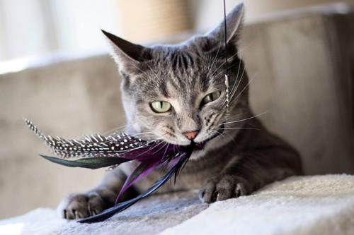 ねこじゃらしをくわえる猫