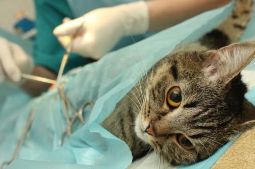 手術中の猫