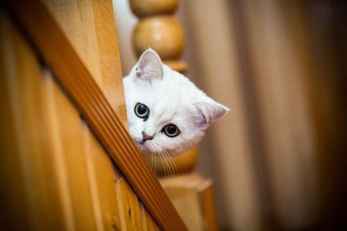 階段から飼い主を探す猫
