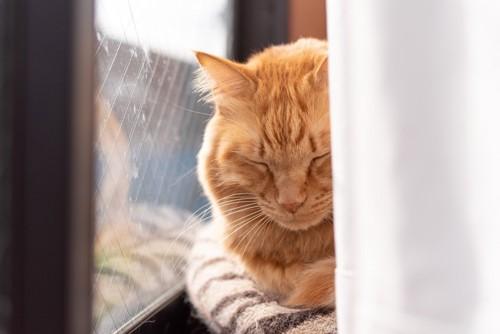 カーテンの間で眠る猫