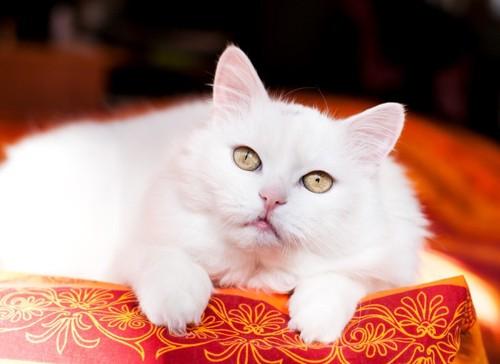 寝転がる白猫