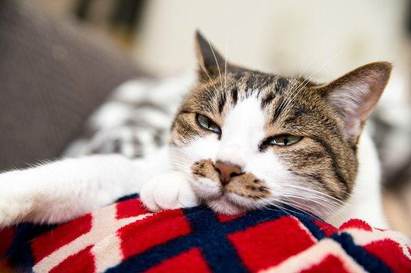 赤い敷物の上につまらなさそうな猫