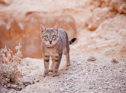 砂漠にいる猫