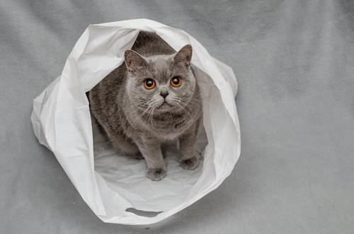 ビニール袋に入ってこちらを見上げる猫