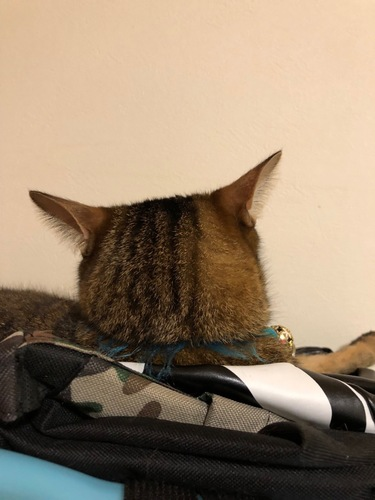 耳を広げている後ろ向きの猫